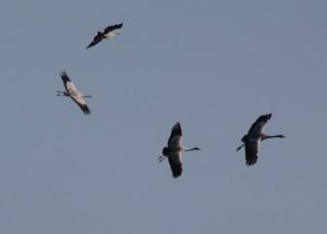Trandansen-flygande